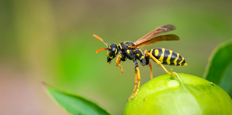 Spiritual Meaning And Symbolism Of A Wasp