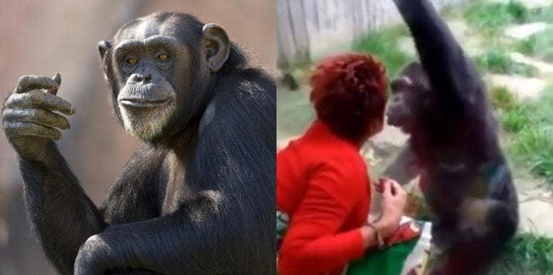 Woman Chimpanzee Affair Belgium