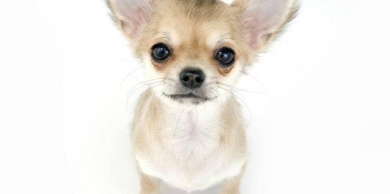 Chihuahua white background