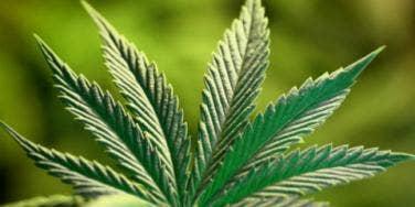 marijuana pot weed