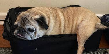 Meet Noodle The TikTok Pug With No Bones
