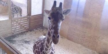 april giraffe