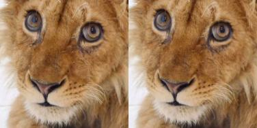 What The Rescued Baby Lion Who Was Tortured For Tourism Looks Like Today