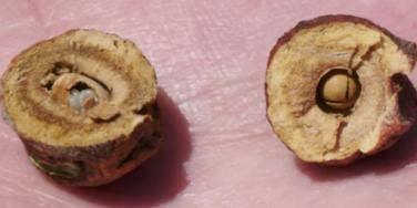 Oak Galls used for vagina tightening