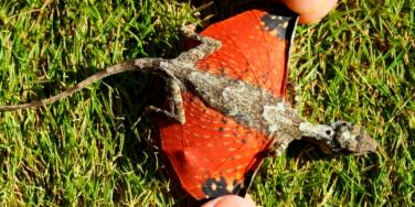 Tiny Dragon Discovered In Indonesia-Draco Volans