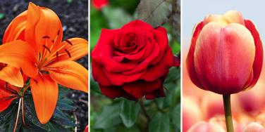 orange lilly, red rose, and tulip