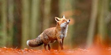 fox in the woods