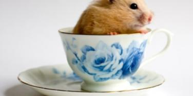 hamster in a teacup