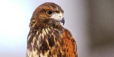 harris hawk bird of prey