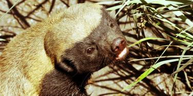 How To Be Happy: What The Honey Badger Knows About Freedom