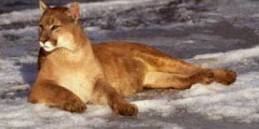 cougar lying on snow
