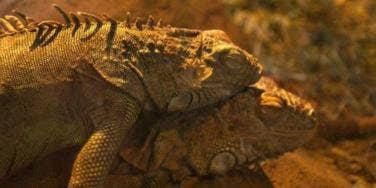 lizard reptiles