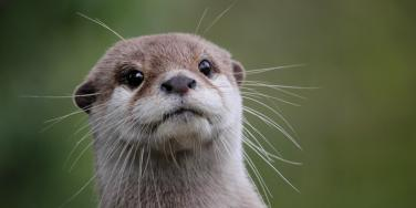 Spiritual Meaning And Symbolism Of An Otter