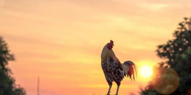 Spiritual Meaning And Symbolism Of A Rooster