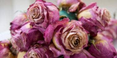 wilted roses dead flowers pink purple