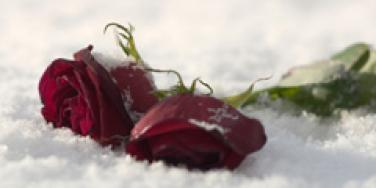two roses in the snow
