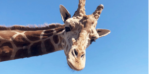 Who Is Stanley the giraffe?Who Is Stanley The Giraffe? New Details About The Fate Of The Malibu Wines Safari Mascot Following The California Wildfires