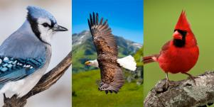 blue jay, eagle, and red cardinal