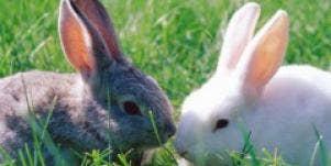 bunnies rabbits grey white field grass kissing animals cute