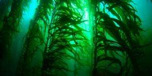 9 Health Benefits of Kelp