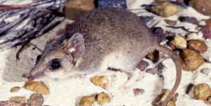 small brown mouse